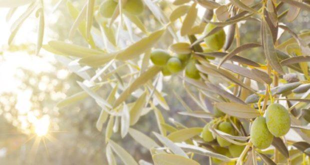 Ελιά, ελαιόδεντρο με καρπούς